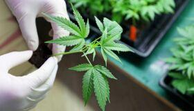 Carta aberta defende legalização da cannabis para fins medicinais-image