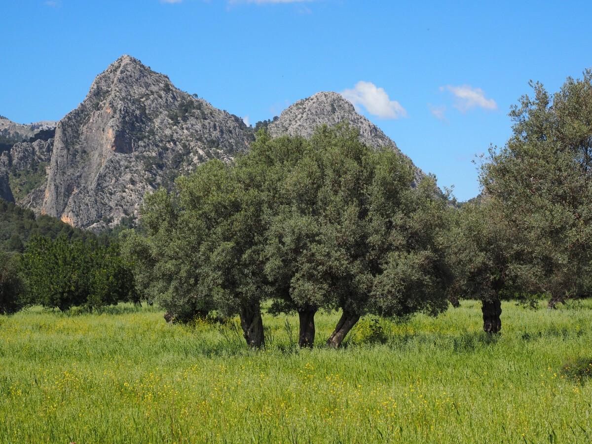 mallorca_olive_tree_olive_plantation_plantation_tree_olive_garden_olive_grove_planting-667150