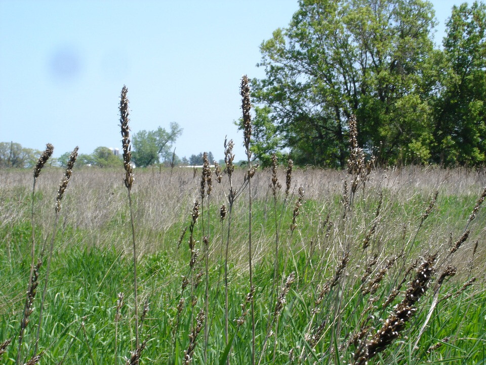 wild-grasses-208463_960_720