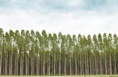 Redução da área de eucalipto entra em vigor já em março-image