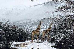 Insólito: Animais cobertos de branco após nevão em África-image