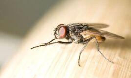 Há uma praga de moscas em sua casa?-image