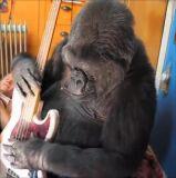 Morreu Koko, a gorila que dominava linguagem gestual-image