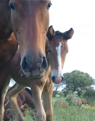 O cavalo - Como comunica e nos entende