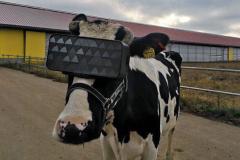 Vacas com óculos virtuais para acalmar e aumentar produção de leite-image