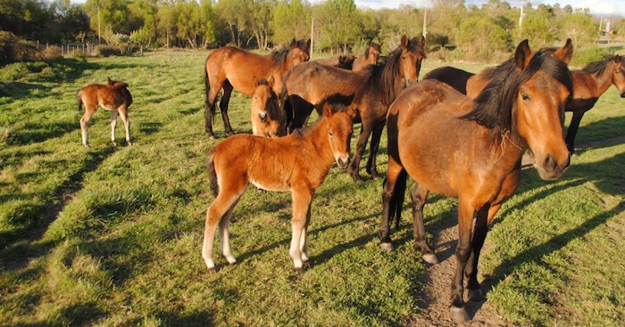 Cavalos-Garranos